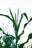 image of zea  - Inflorescence at corn plantation with the sky - JPG