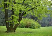foto of linden-tree  - Big Linden Tree in Park with Early Spring Green Leaves - JPG