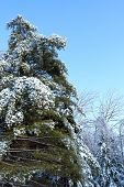 pic of northeast  - Forest trees with ice and snow after a storm in the Northeast - JPG
