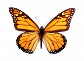 picture of monarch butterfly  - Isolated monarch butterfly - JPG