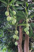 picture of mango  - mangoes on a mango tree in summer season - JPG