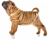 stock photo of shar pei  - chinese shar pei puppy standing isolated on white background  - JPG