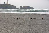 stock photo of flock seagulls  - Seagulls on beach with Yaquina Head Lighthouse in background Newport Oregon coast - JPG