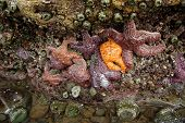 stock photo of echinoderms  - Purple and orange starfish  - JPG