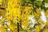 stock photo of vishu  - National tree of Thailand Golden Shower Tree Art Print - JPG