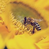 stock photo of pollen  - Close up of a honeybee Apis mellifera foraging for pollen on a bright yellow sunflower pollinating the crop as it passes from flower to flower - JPG