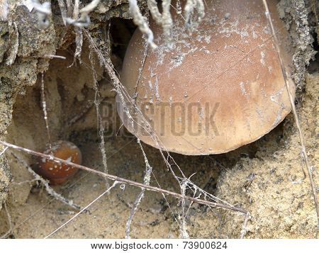 Mushrooms In Sandy Soil