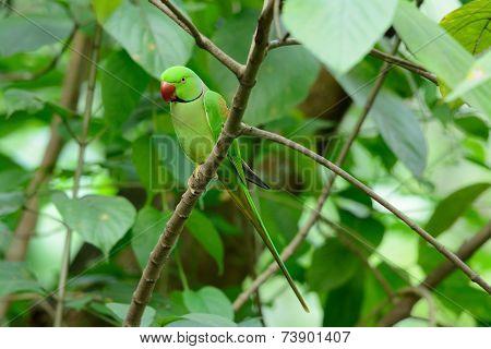 Male Alexandrine Parakeet (psittacula Eupatria)