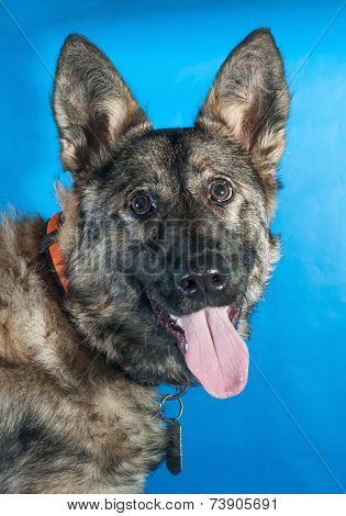 Gray Shaggy Dog In Red Collar On Blue