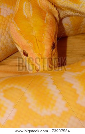Albino Burmese Python (python Bivittatus)