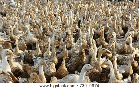 Flock Of White Duck