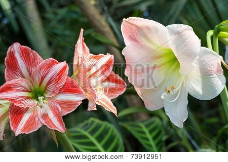 Beautiful Large Lily Flowers In Nature