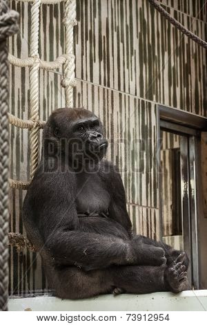 Western Lowland Gorilla In Captivity - Sad Expression