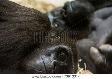 Pair Of Gorillas