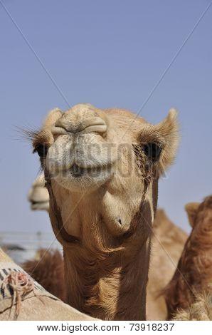 Arabian camel (Camelus dromedarius)