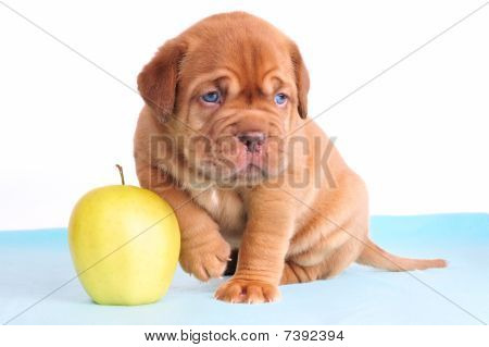 Puppy Sitting With Apple