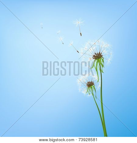 two dandelions in wind on light blue background