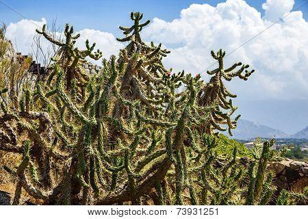 Spiny Shrub Cactus