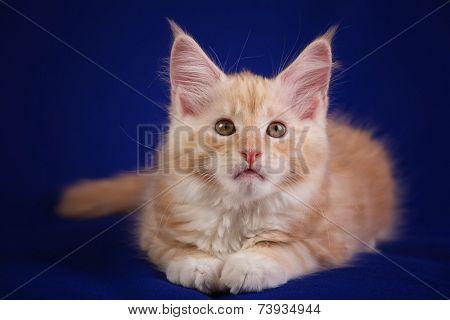 Portrait of sweet pet cat MAINE - COON