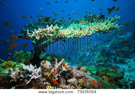 Coral reef with branching coral and colorful tropical fish swimming underwater in a natural marine ecosystem attracting eco-tourism and divers