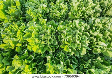 Closeuo Of Endive Plants In The Field