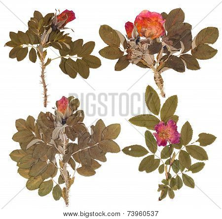 Set Of Branches Rose Hips
