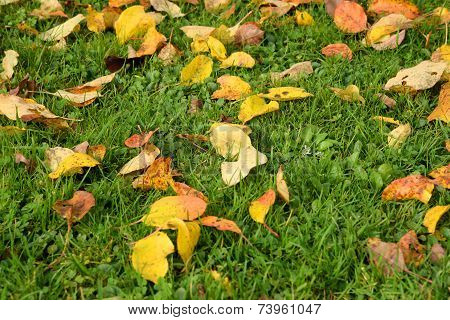 orange autumn leaves on a green grass
