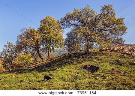 Autumn Landscape With Grazing Goat