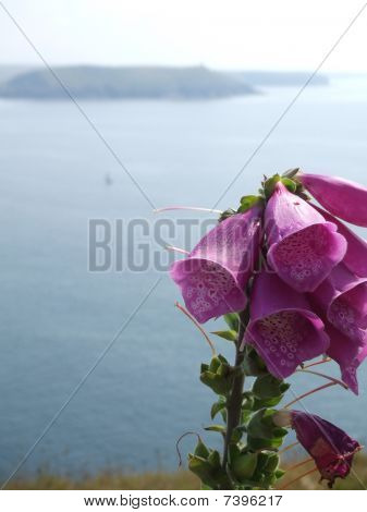 Foxgloves on the Cornish Coast