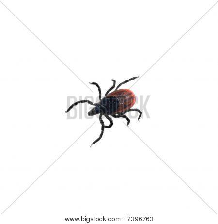 Garrapata del venado - Ixodes Scapularis