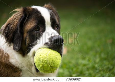 Saint Bernard Dog With Toy