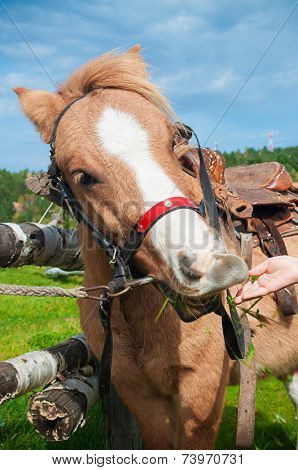 Pony eating grass from child hand