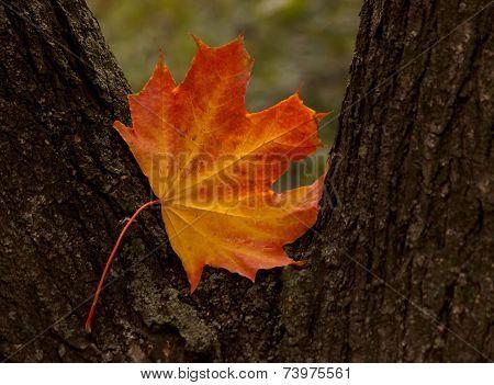 Maple Tree Leaf On Trunk Of Tree