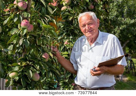 Senior man picking apples in an orchard