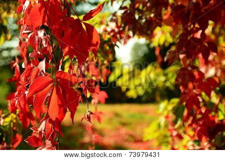 Red Virginia Creeper In Autumn