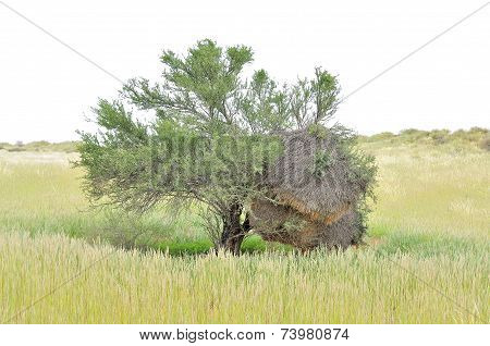 Tree With Sociable Weaver Community Bird Nest