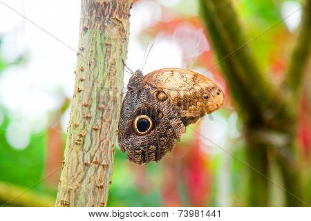 Owl Butterfly In Natural Environment