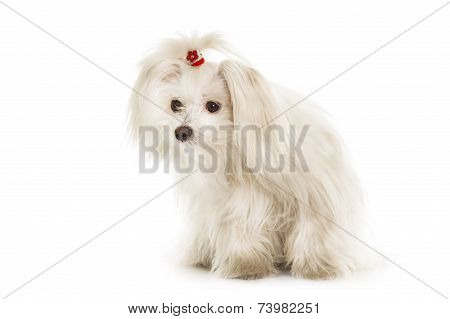 White Maltese Dog Is Sitting On White Background