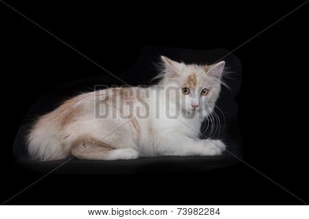 Kurilian Bobtail Kitten