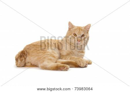 Kurilian Bobtail Red Cat