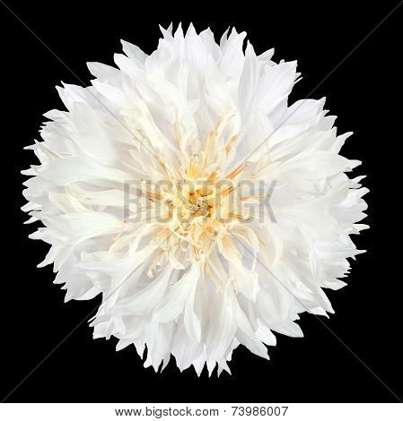 White Cornflower Flower Isolated On Black Background