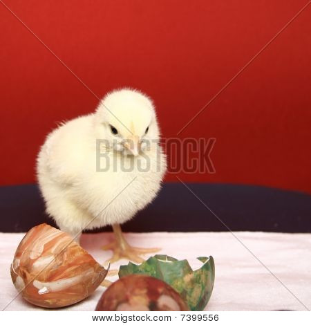 Yellow chick ad easter eggs shell