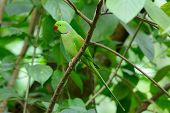 foto of parakeet  - beautiful male Alexandrine Parakeet (Psittacula eupatria) in Thai forest