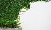 pic of english ivy  - ivy leaves isolated on a white wall - JPG