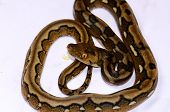 image of pythons  - beautiful baby motley mutation Reticulated Python  - JPG