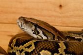 picture of pythons  - beautiful Burmese Python  - JPG