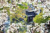 stock photo of sakura  - sakura season Kyoto Japan for adv or others purpose use - JPG
