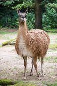 stock photo of lamas  - One Guanako llama  - JPG