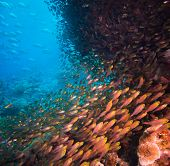 image of school fish  - Shoal or school of tropical fish swimming underwater over a rocky offshore coral reef schooling to confuse predators - JPG