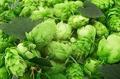 stock photo of raw materials  - hop cones is raw material for beer production - JPG